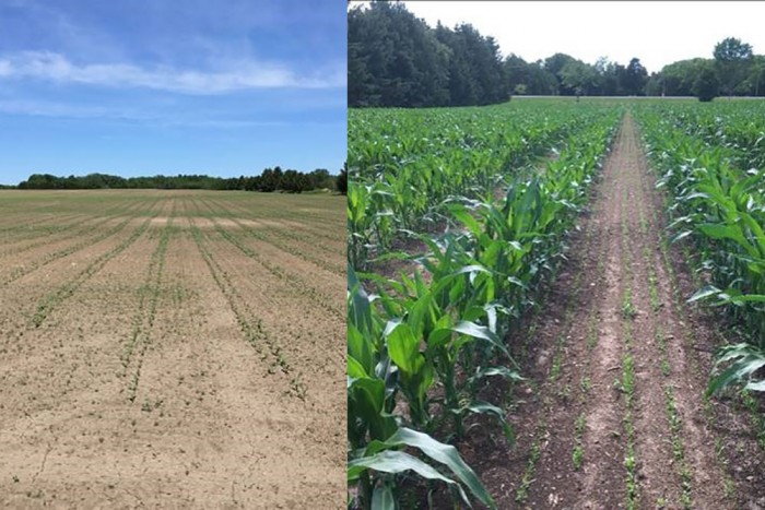 The first photo shows emergence of twin-row corn and the second photo shows the emergence of cover crop between rows.